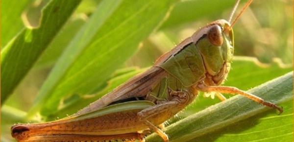 Va-t-on bientôt manger des insectes?