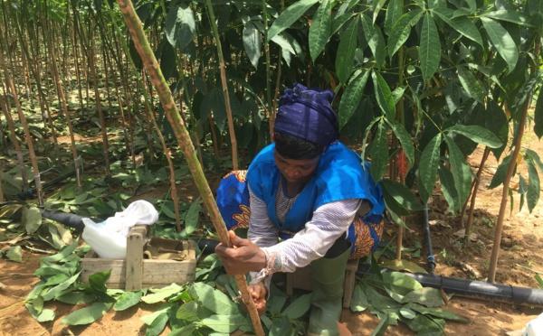Côte d'Ivoire : greffeur d'hévéa, un métier saisonnier indispensable à la filière