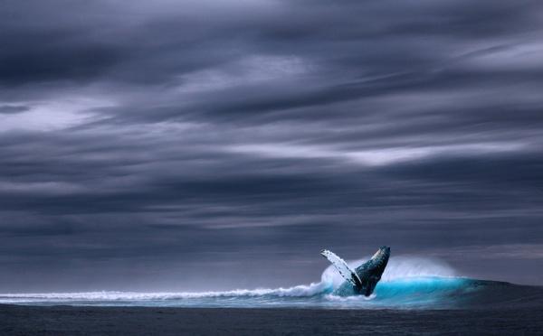 L'Islande renonce-t-elle enfin à la chasse à la baleine?