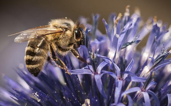 Les insecticides néonicotinoïdes sont de nouveau autorisés.