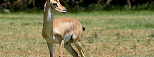 La gazelle de montagne peut disparaître