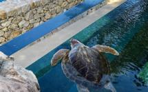 Jeune tortue caouanne dans le nouveau bassin du Musée Océanographique de Monaco. Photo (c) Charlotte Longépé.