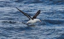 Albatros survolant l'océan à la recherche de poisson (c) Pixabay A