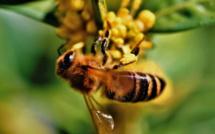 Une abeille en train de polliniser une fleur © Pixnio
