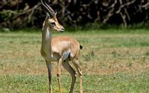 Israël est l'un des derniers pays où la gazelle de montagne, gazella gazella, se trouve à l'état sauvage (c) Bassem18